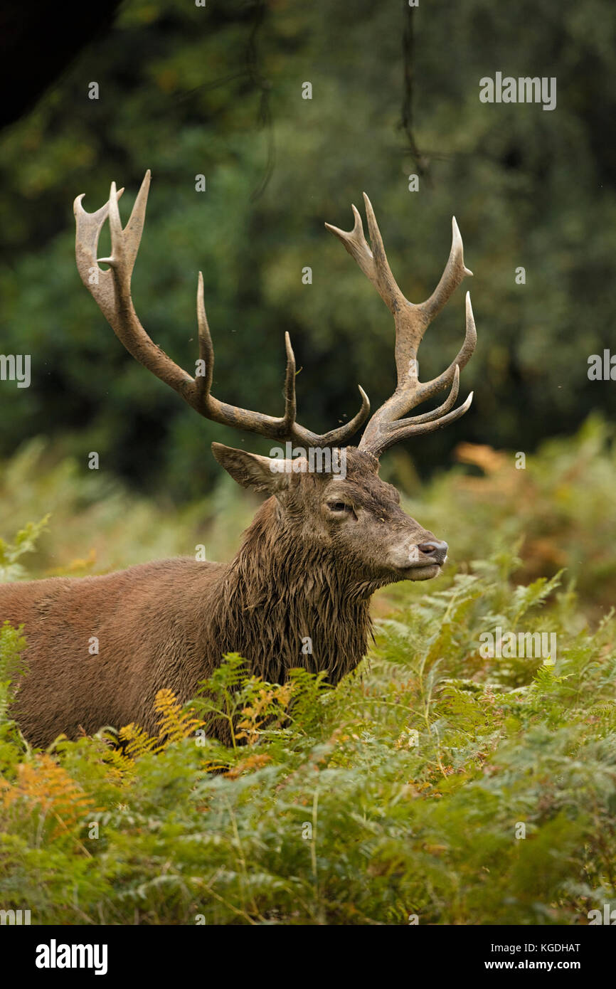 red deer (Cervus elaphus), Stag during rut, England, U.K. Stock Photo