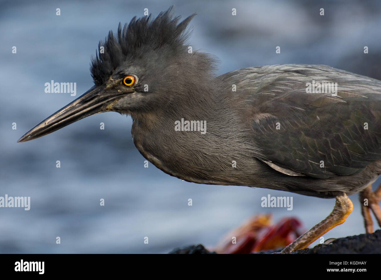 A lava heron (Butorides sundevalli) flares its crest feathers for a moment. Stock Photo