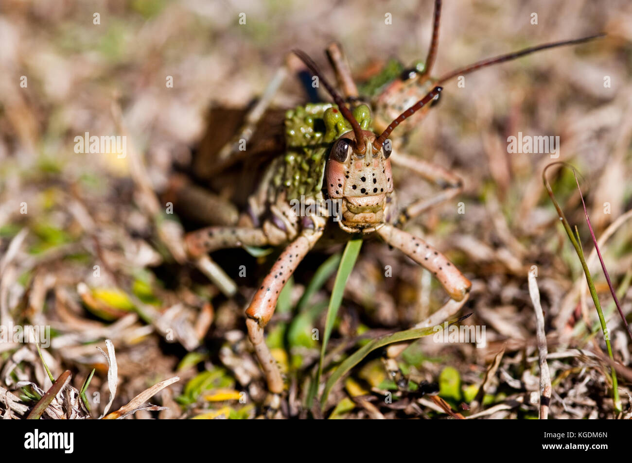 Pyrgomorphid Grasshopper also known as the Gaudy Grasshopper. This image was taken in South Africa. - Stock Image
