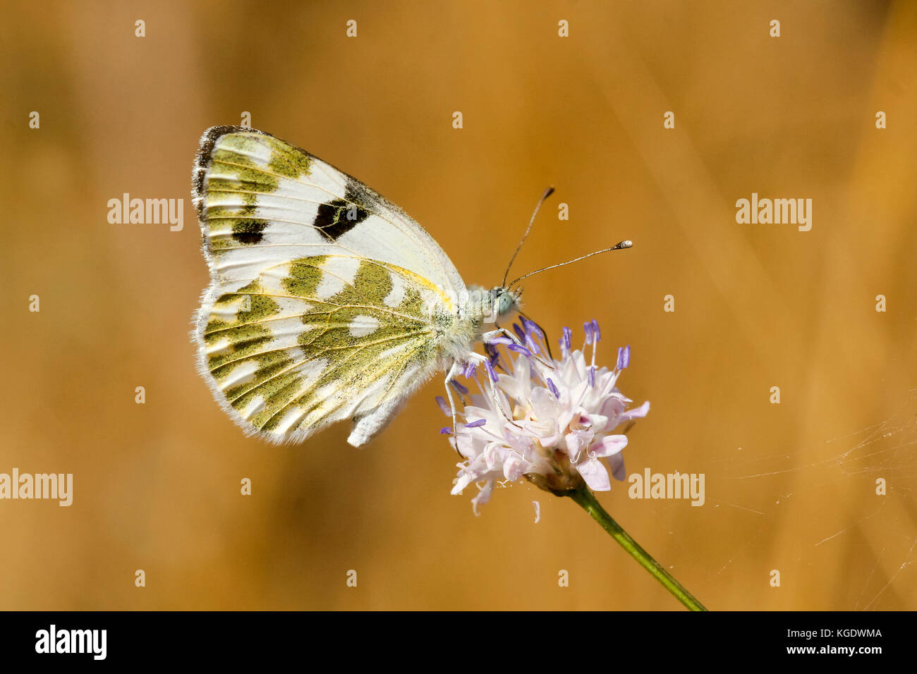 Bath White Pontia daplidice Butterfly  shot in Israel, Summer June - Stock Image