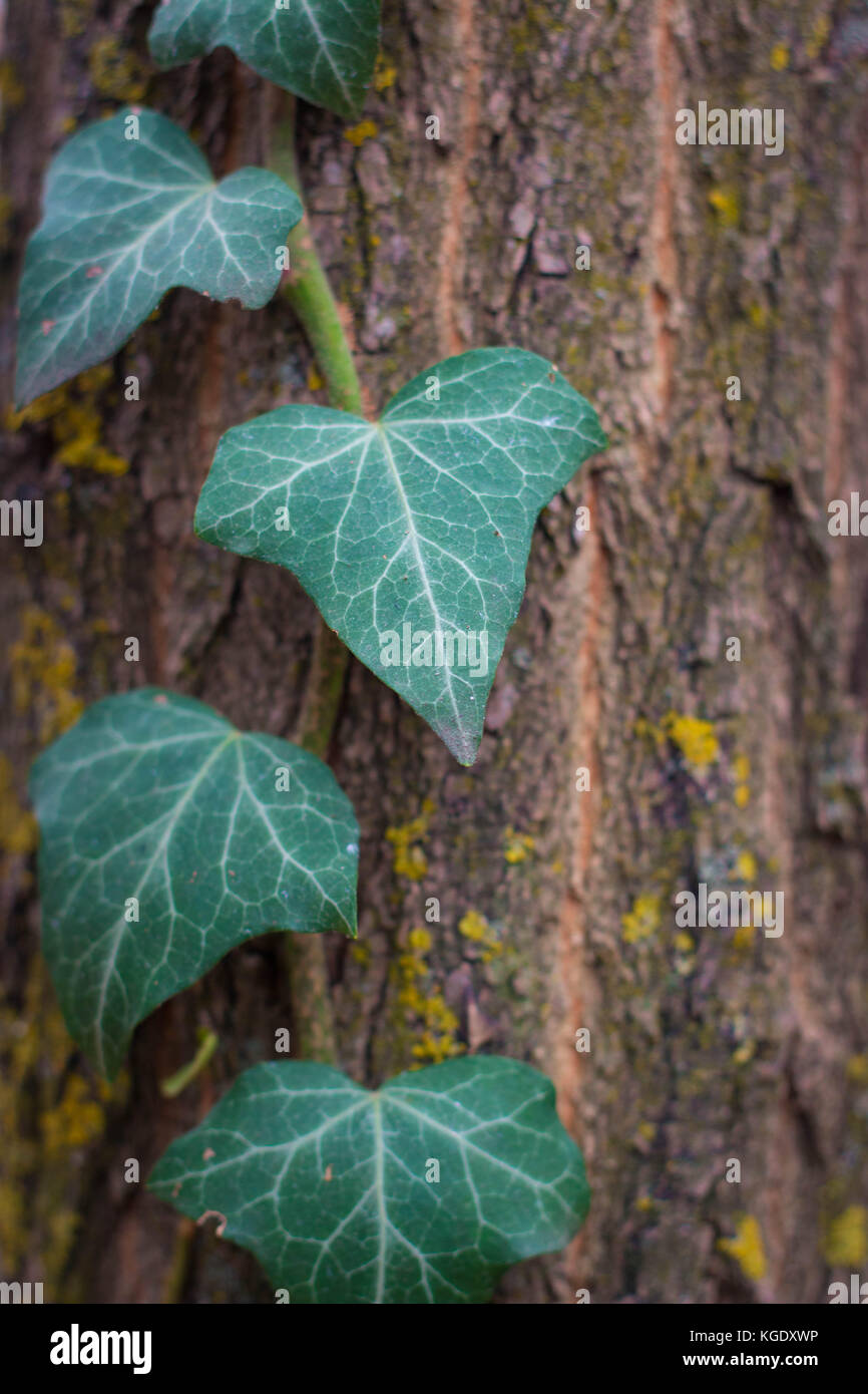 ivy on wood - Stock Image