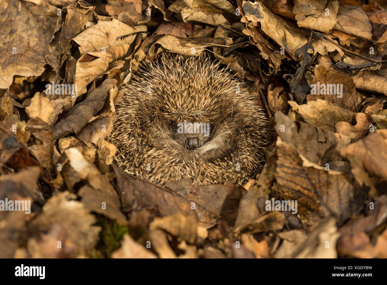 Hedgehog, Erinaceus Europaeus, wild, native, European hedgehog curled into a ball and hibernating in brown Autumn - Stock Image