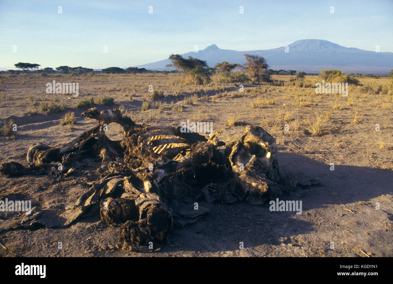 African bush elephant, Loxodonta africana. Carcass of an elephant killed by poachers to steal de ivory. Kilimanjaro - Stock Image