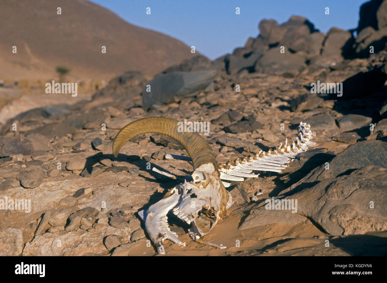 Wild goat, Capra aegagrus. Partial skeleton of dead animal in the desert. Grand Bara Desert, South Djibouti - Stock Image