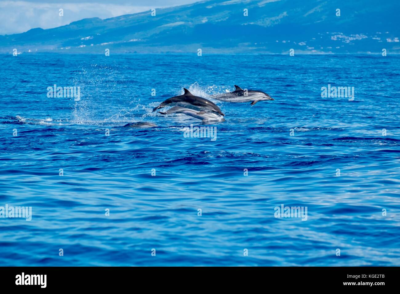 Airborne dolphins at Pico Azores - Stock Image