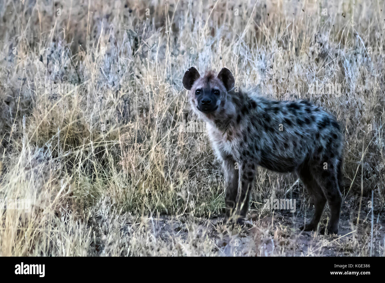 Beautiful spotted hyena in the savanna grasses of Tanzania's Northern Serengeti. Set of three images. - Stock Image