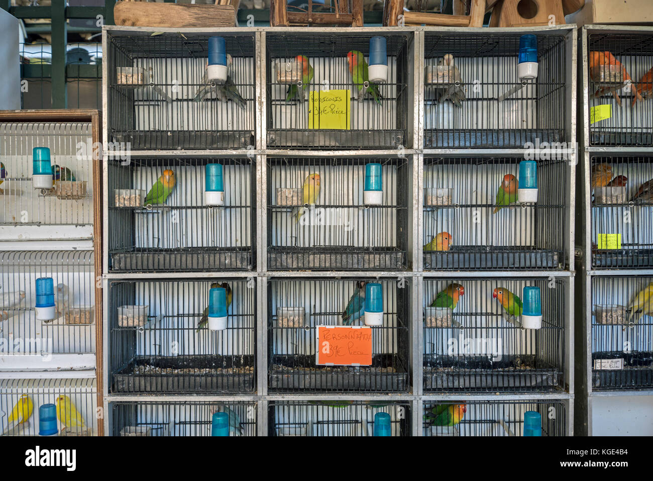 Birds for sale at the Marché aux Oiseaux: the Sunday morning bird market on the Ile St Louis in Paris, France. - Stock Image