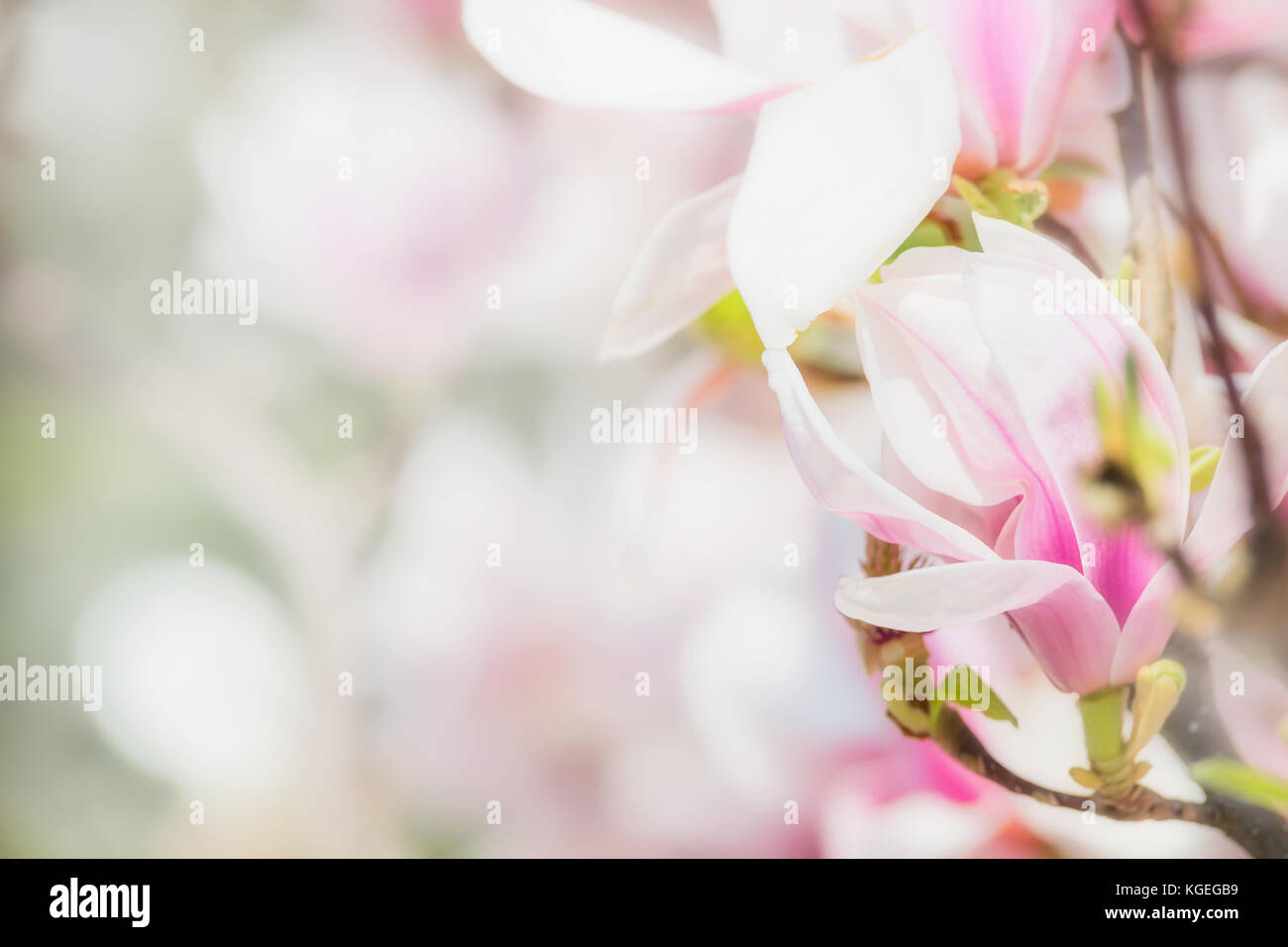 Delicate pink magnolia flowers at blurred blossom of magnolia tree delicate pink magnolia flowers at blurred blossom of magnolia tree springtime nature concept floral border mightylinksfo