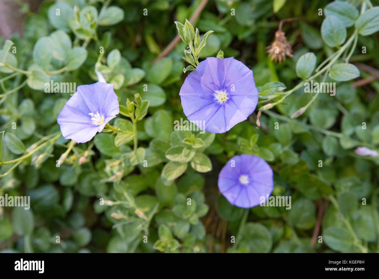 Blue flowering Convolvulus in a Sydney garden Stock Photo