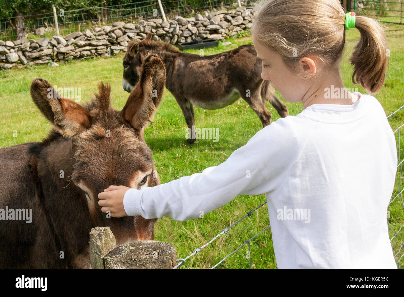 Closeup Child stroking a donkey with a second donkey in the background  green grass field bright summer's day, - Stock Image