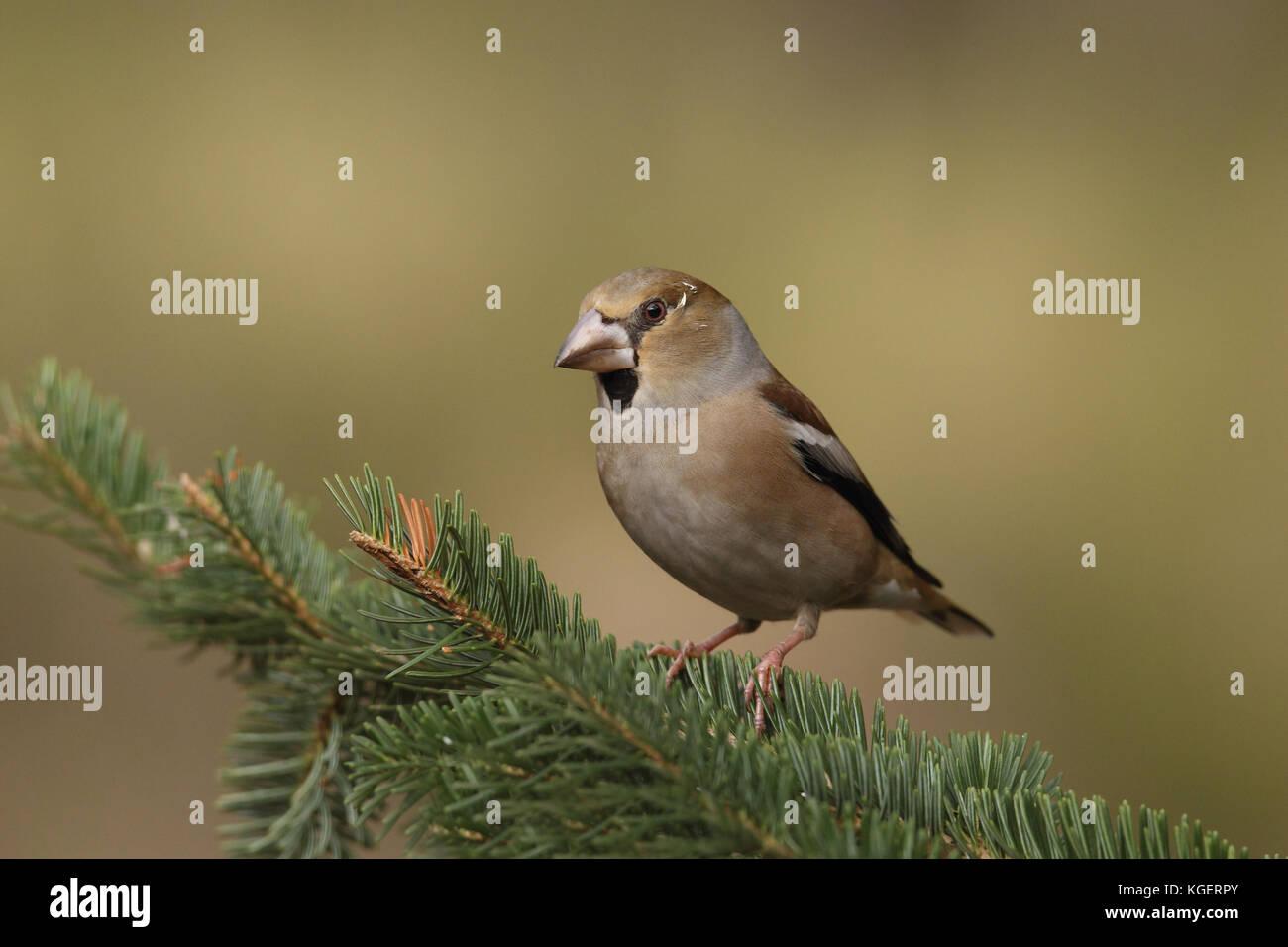 Eurasian hawfinch - Stock Image