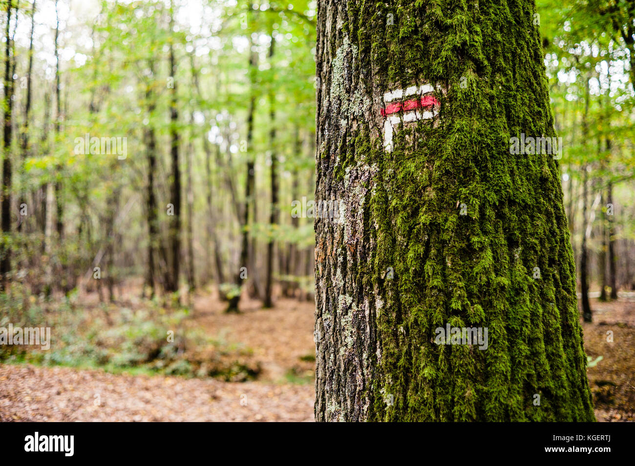 Red and white direction sign painted on a moss covered oak tree trunk on a long distance hiking trail in a french - Stock Image