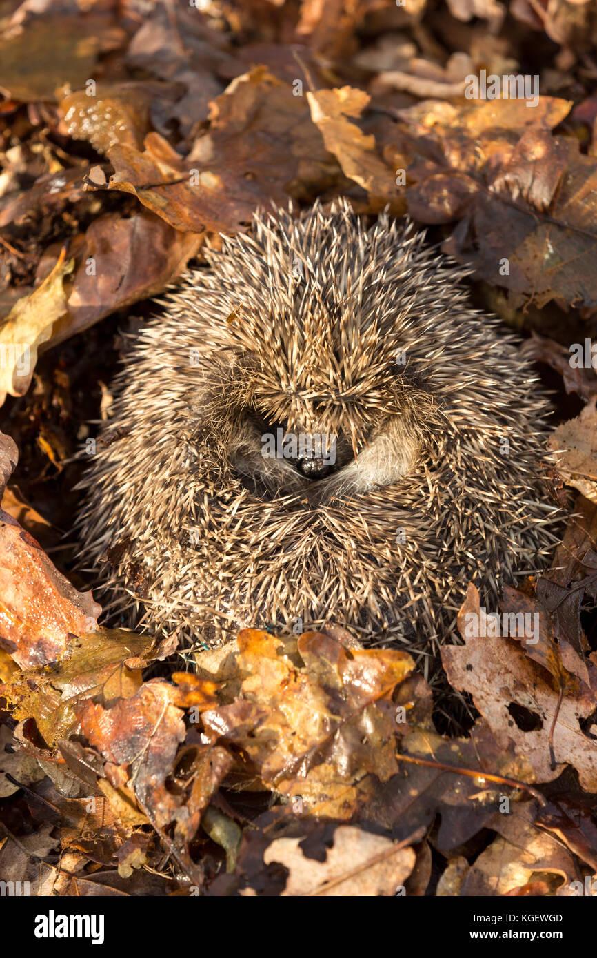 Hedgehog, wild, native, European hedgehog (Erinaceus Europaeus) hibernating in golden brown Autumn leaves. Facing - Stock Image