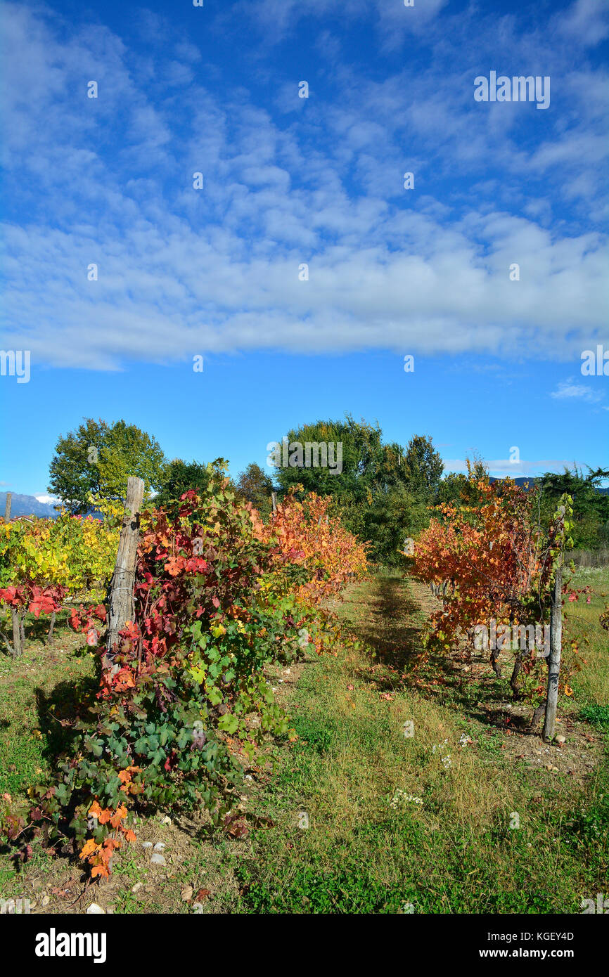 Autumnal rows of grape vines in late October in the north east Italian region of Friuli Venezia Giulia. Stock Photo