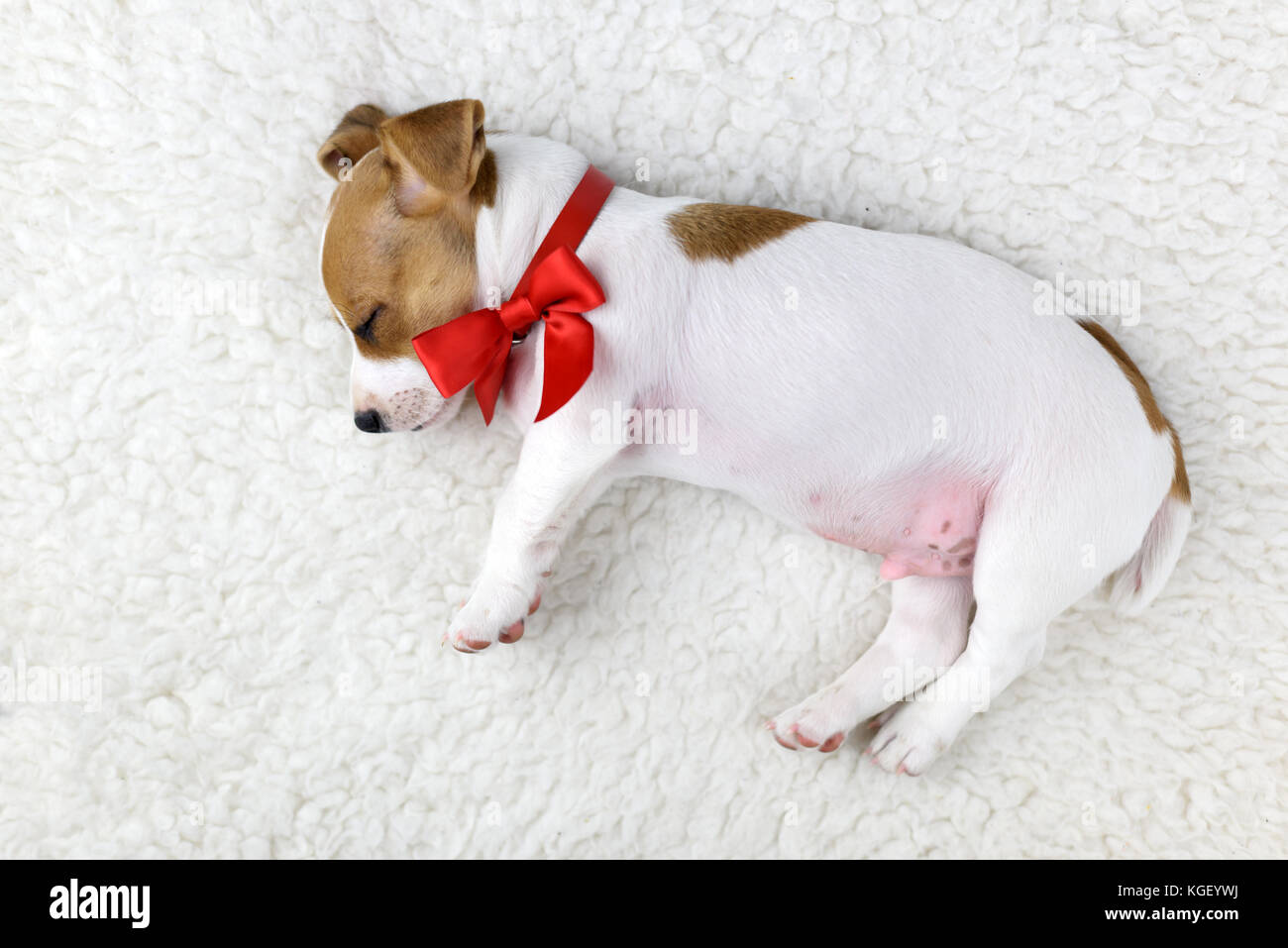 jack russel puppy with red bow - Stock Image