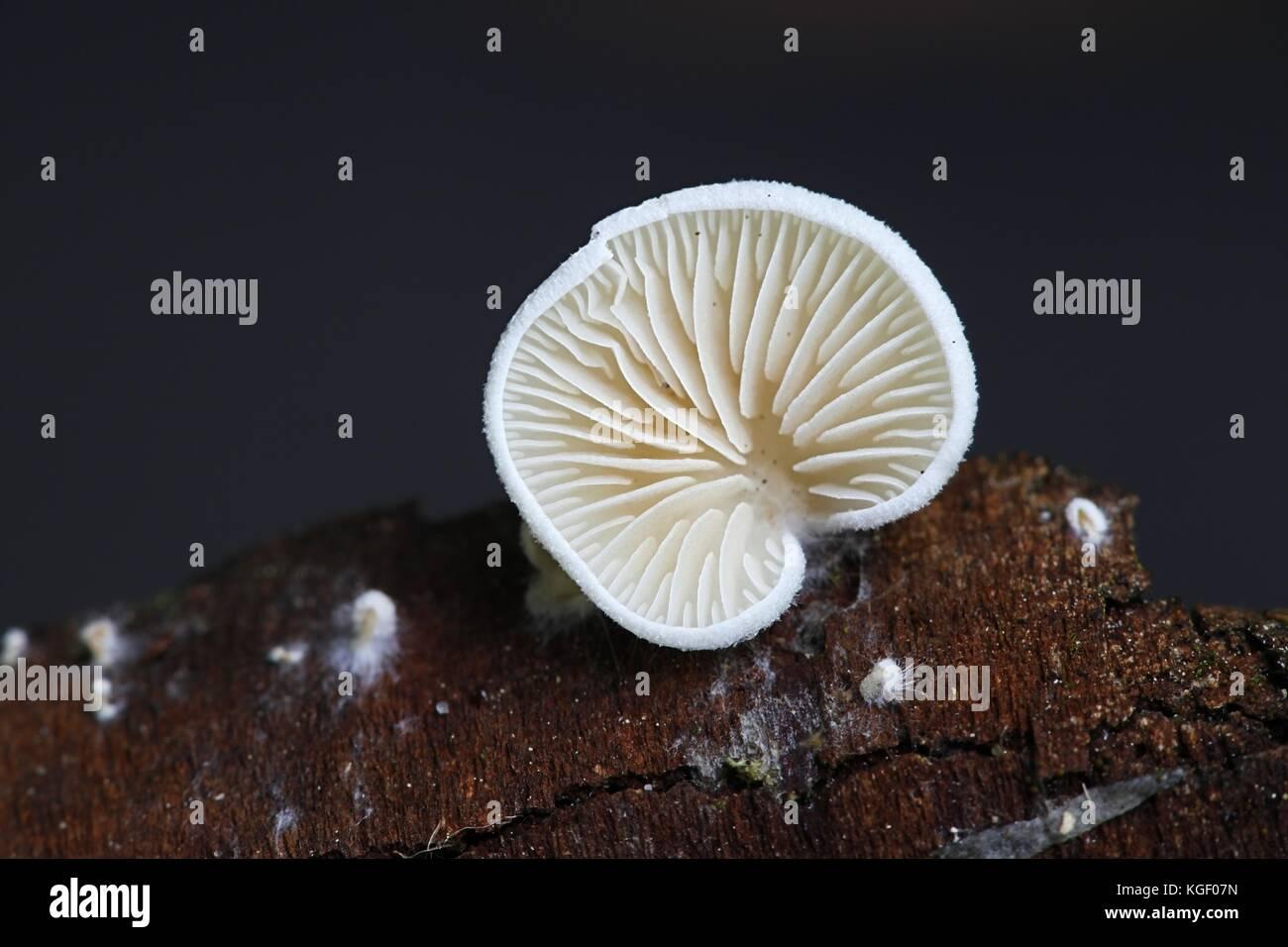 Evasive agaric mushroom, Crepidotus versutus - Stock Image