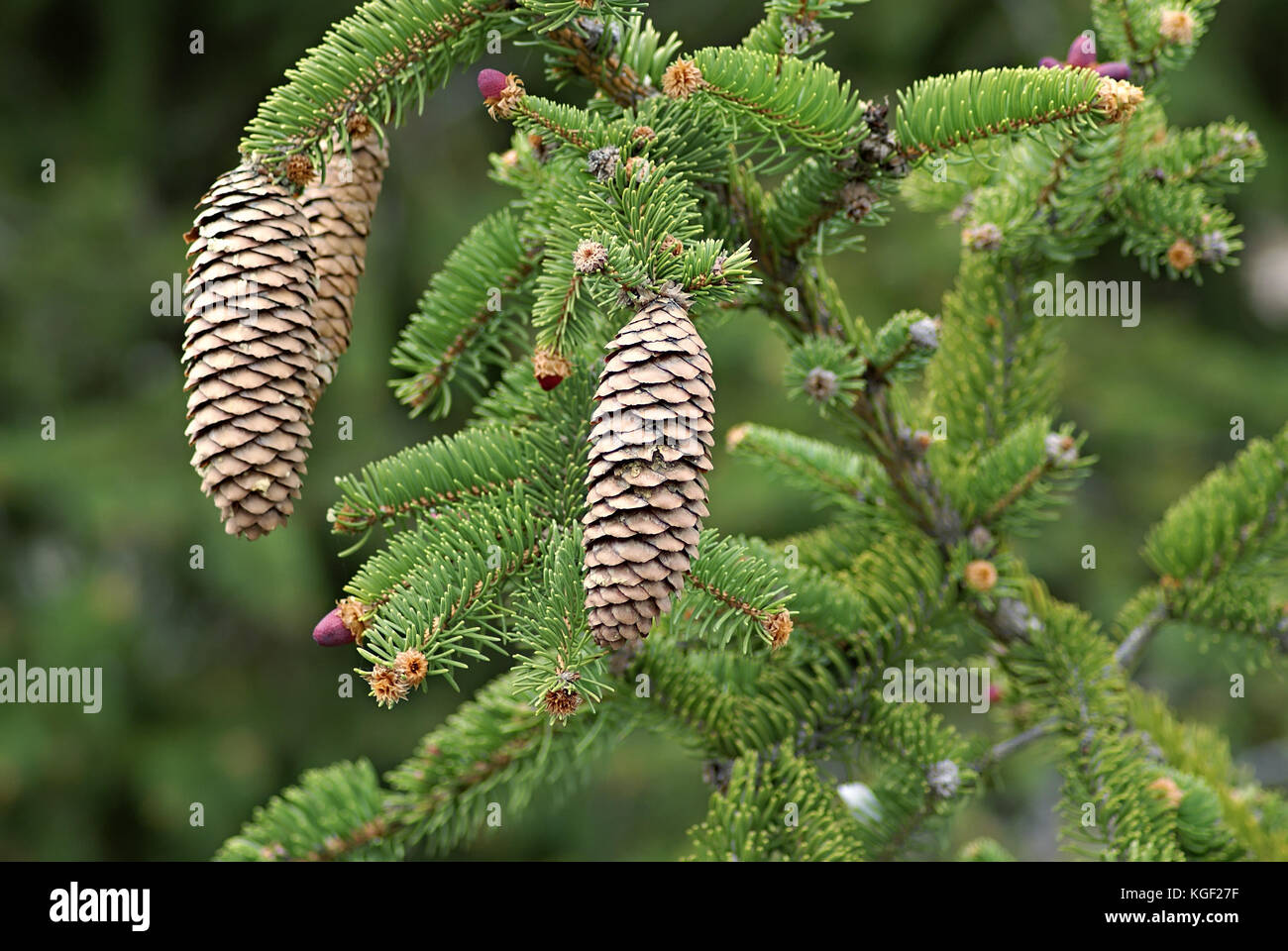 Cones on a Norway Spruce (Picea abies) branch, often used as Christmas tree. Autumn season in a southern alps forest - Stock Image