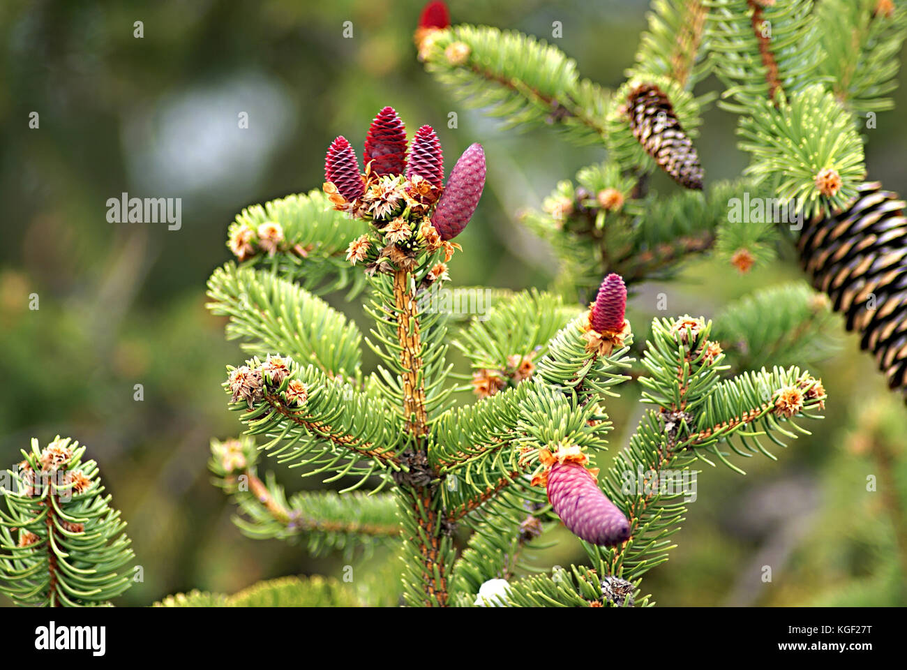 Young pink cones on a Norway Spruce (Picea abies) branch, often used as Christmas tree. Autumn season in a southern - Stock Image