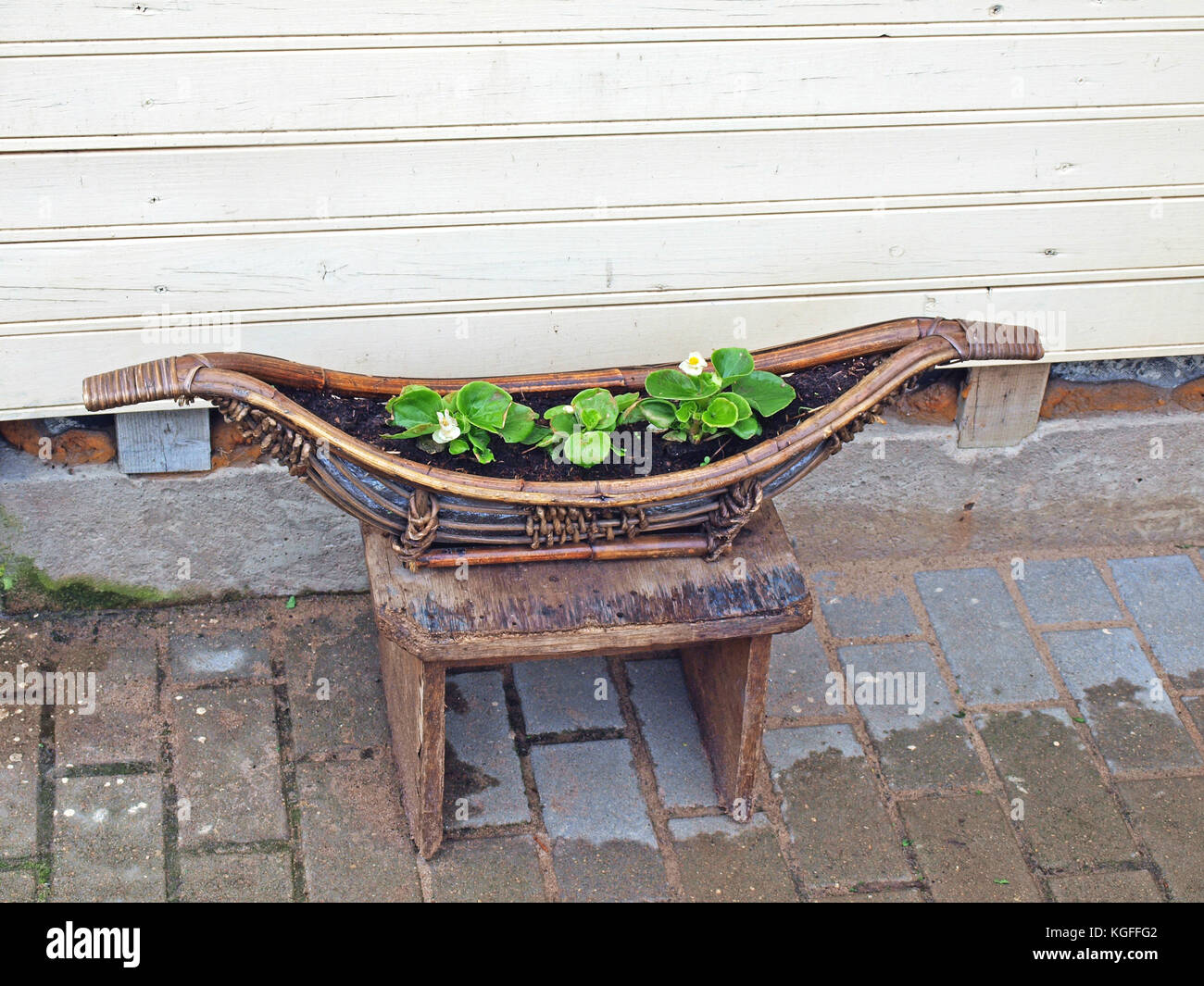 Old retro vintage decor as wooden boot with soil and flower seedlings - Stock Image