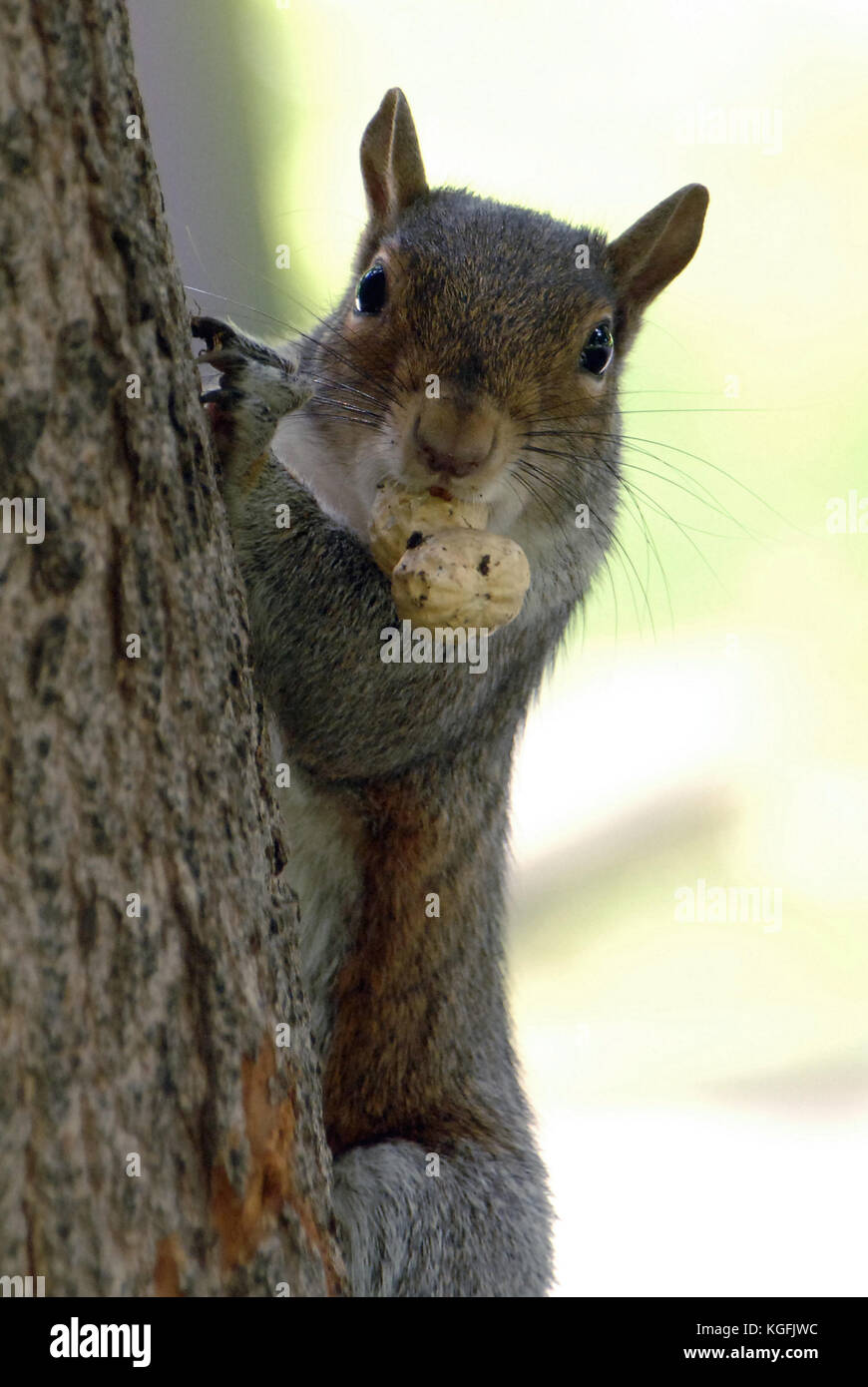 Squirrel. Philadelphia. Pennsylvania. USA. - Stock Image