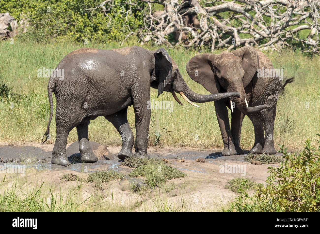 African Elephants wallowing in the mud - Stock Image