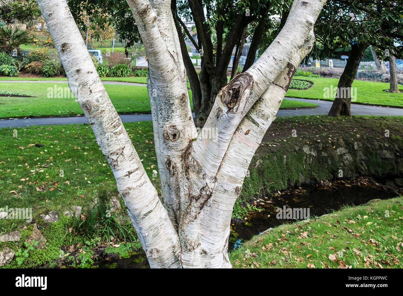 The trunk of a Silver Birch tree Betula pendula - Stock Image