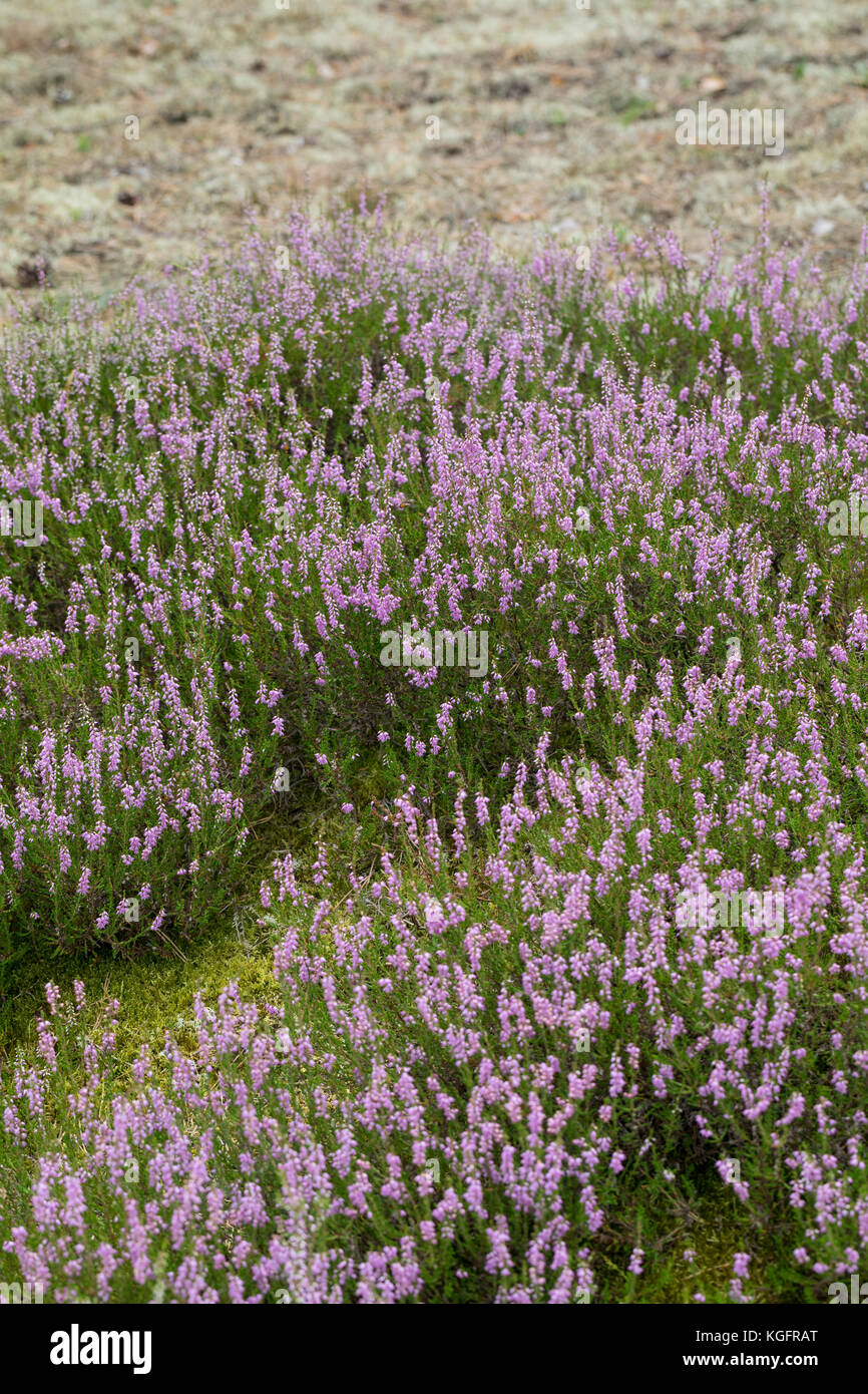 Besenheide, Heidekraut, Heide, Calluna vulgaris, Ling, Scots Heather, heather, common heather, Callune, Bruyère - Stock Image
