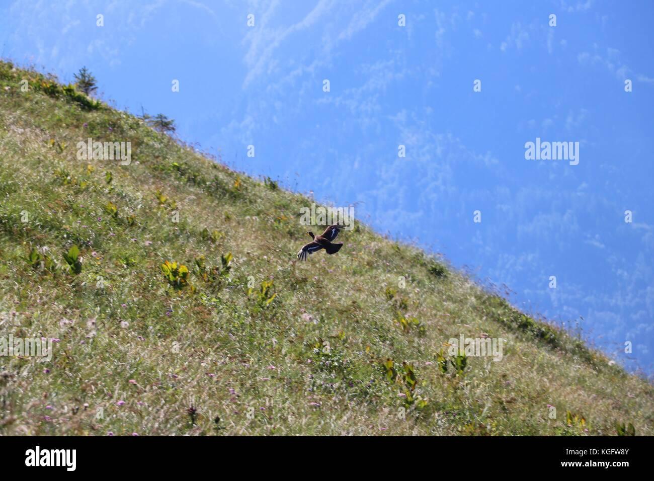 Phasianidae flying - Stock Image
