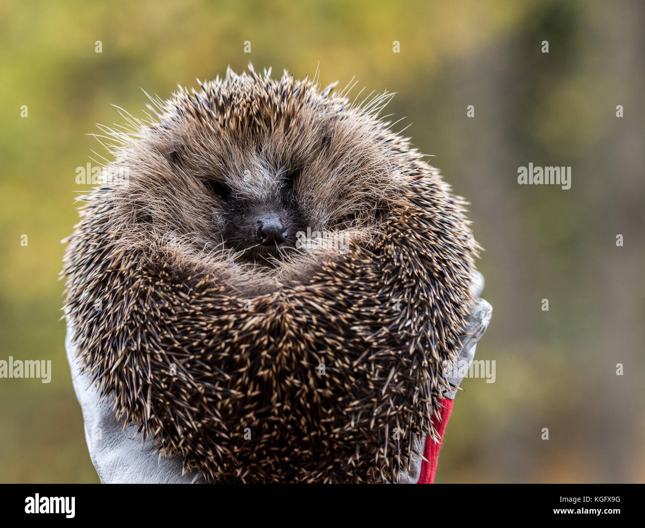 Wild Eurpean Hedgehog, Erinaceus europaeus, curled up in a hand with gloves on - Stock Image