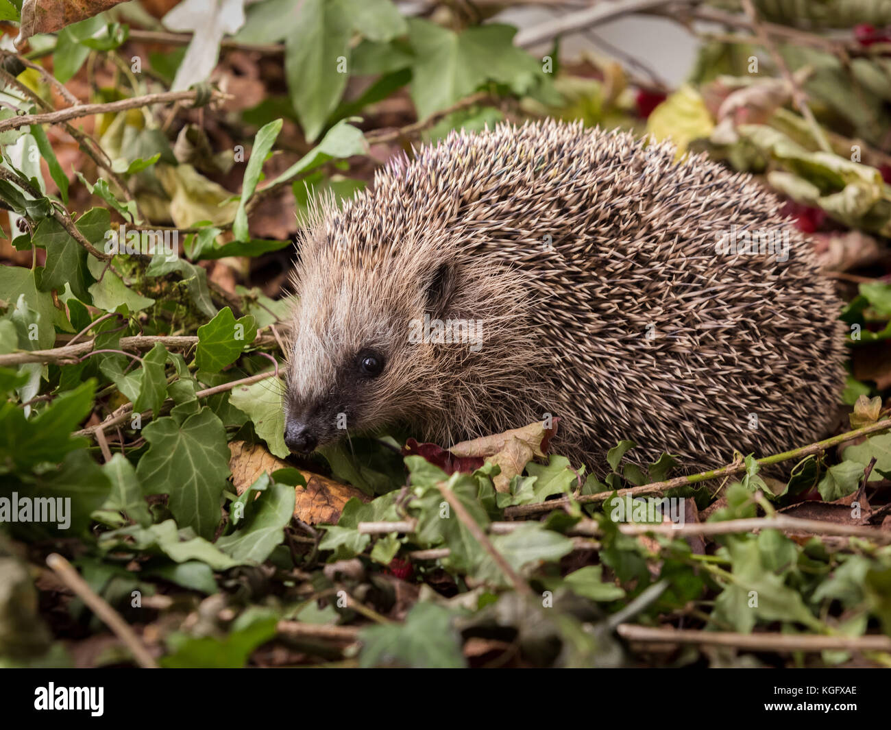 European hedgehog, Erinaceus europaeus, in green leaves of ivy - Stock Image