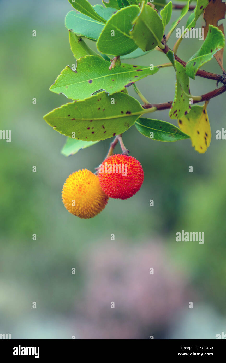 Ornage and red fruit on strawberry tree, Peleponnese, Greece - Stock Image