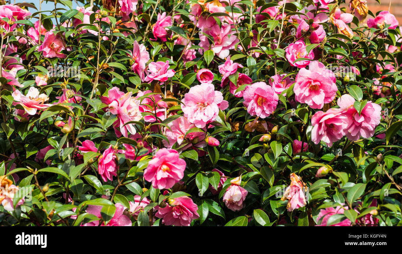 A shot of some pink camellia bush blooms. Stock Photo
