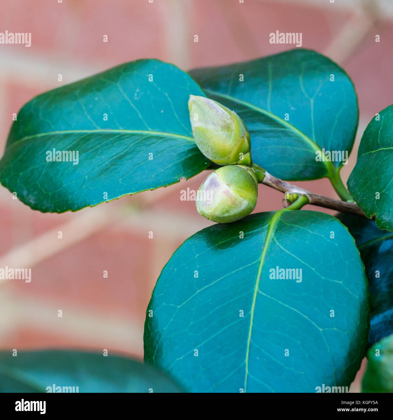 A Macro Shot Of A Pair Of Camellia Bush Flower Buds Stock Photo