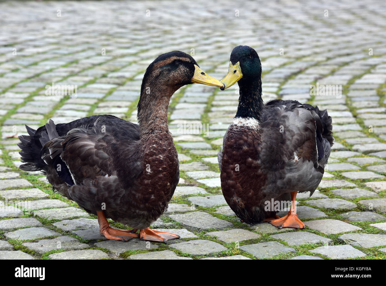 two ducks standing and waddling on a cobbled stone area or road with their beaks touching each other looking at - Stock Image