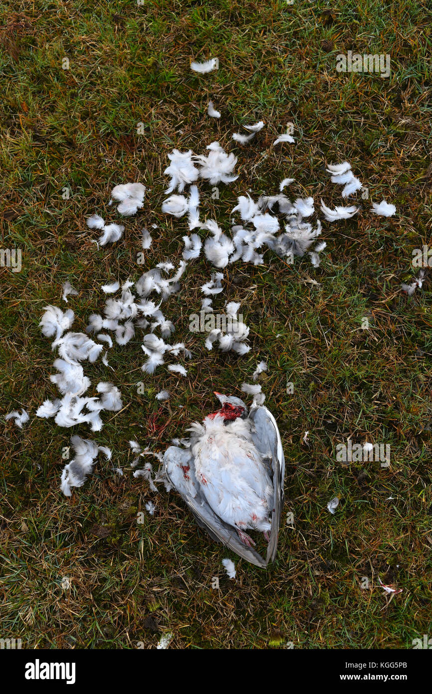 A pigeon killed after being hunted by a bird of prey believe to be a Merlin or a Sparrow hawk. Which was circling - Stock Image