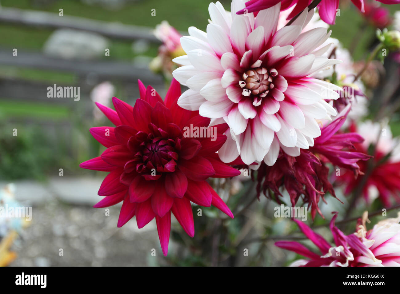 beautiful white and red flowers in the summer in Europe. - Stock Image