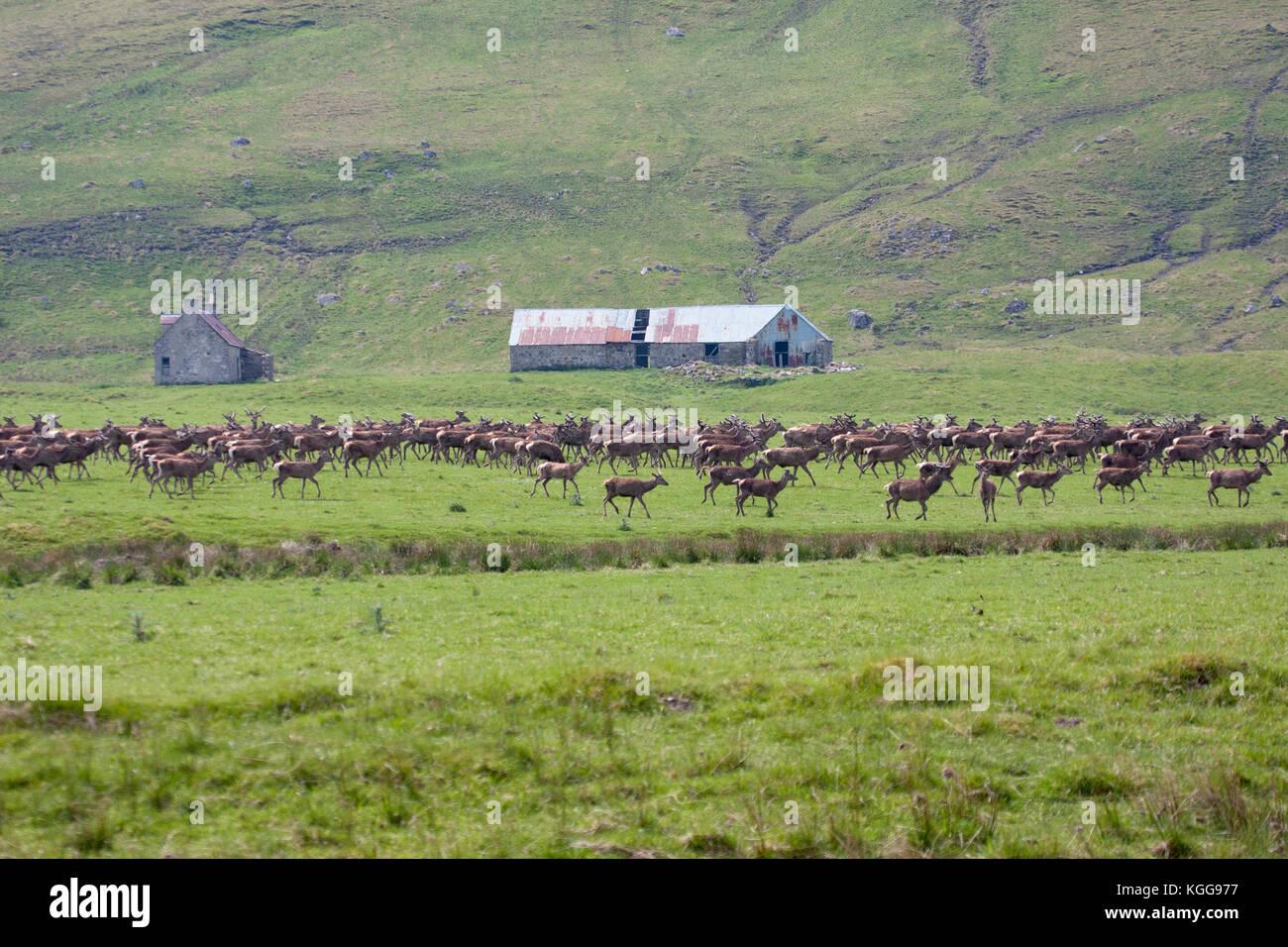 Red Deer, Cervus elaphus,  Herd of males and females walking on grassland. Findhorn Valley, Scotland, UK. - Stock Image