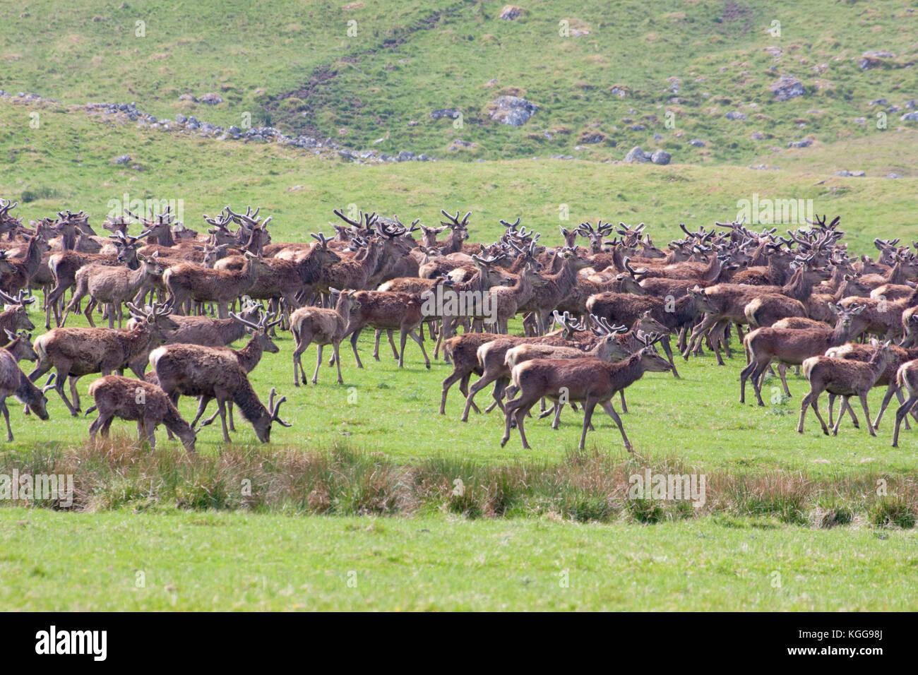 Red Deer,  Cervus elaphus,  Herd of males and female on grassland. Findhorn Valley, Scotland, UK. - Stock Image