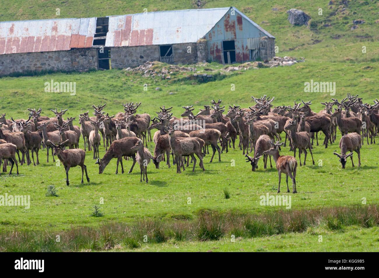 Red Deer,  Cervus elaphus,  Herd of males and females standing on grassland. Findhorn Valley, Scotland, UK. - Stock Image
