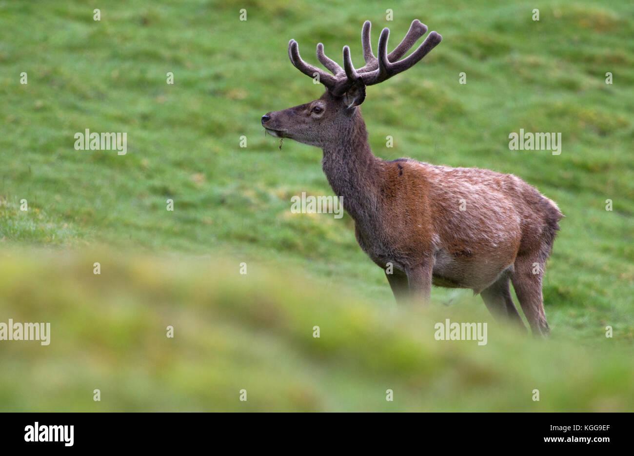 Red Deer, Cervus elaphus, single adult male with antlers in velvet standing on grassland. Findhorn Valley, Scotland, - Stock Image