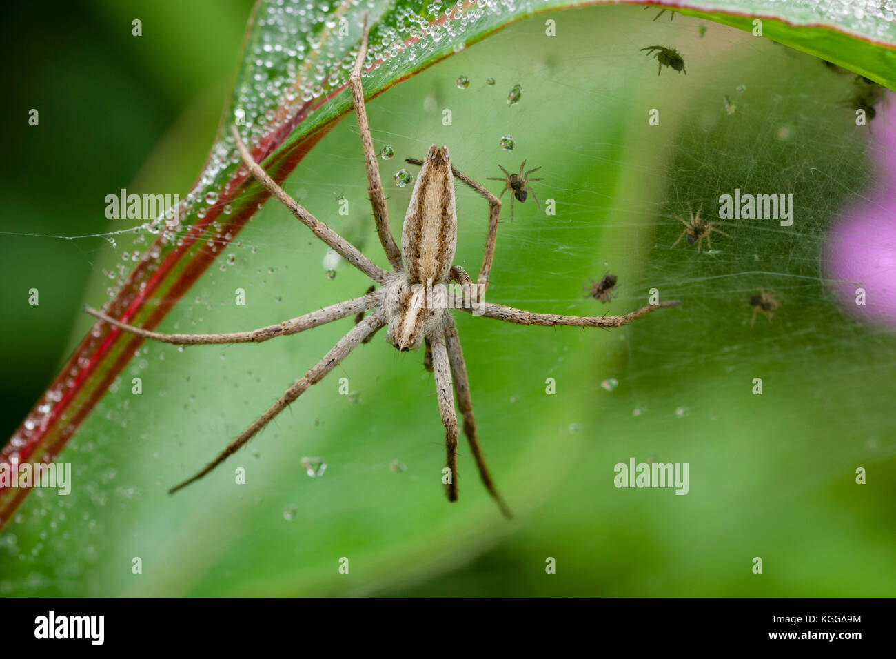 Adult female nursery web spider, Pisaura mirabilis, sitting on the web used for protection of her tiny spiderlings - Stock Image