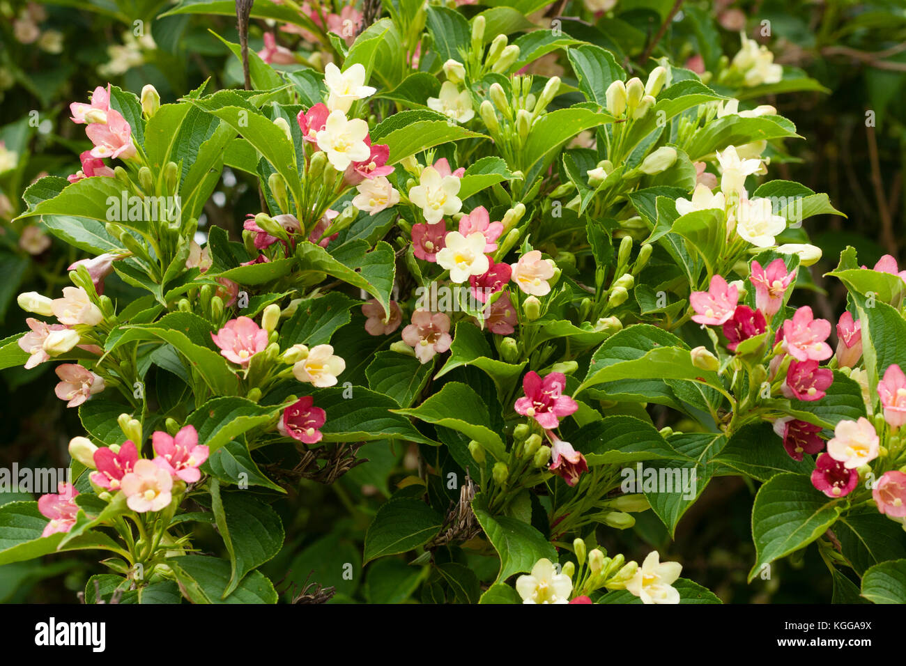 Early summer flowers of the hardy shrub, Weigela coraeensis 'Alba', turn from white to pink as they mature Stock Photo