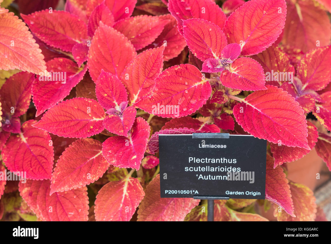 Plectranthus scutellarioides , winter sun, compact low growing cultivar. Stock Photo