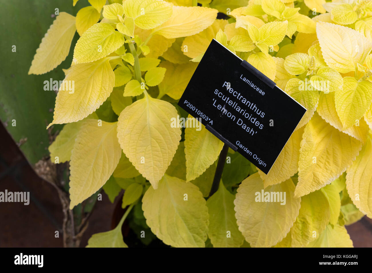 Plectranthus scutellarioides , lemon dash, compact low growing cultivar with golden green broad leaves. Stock Photo