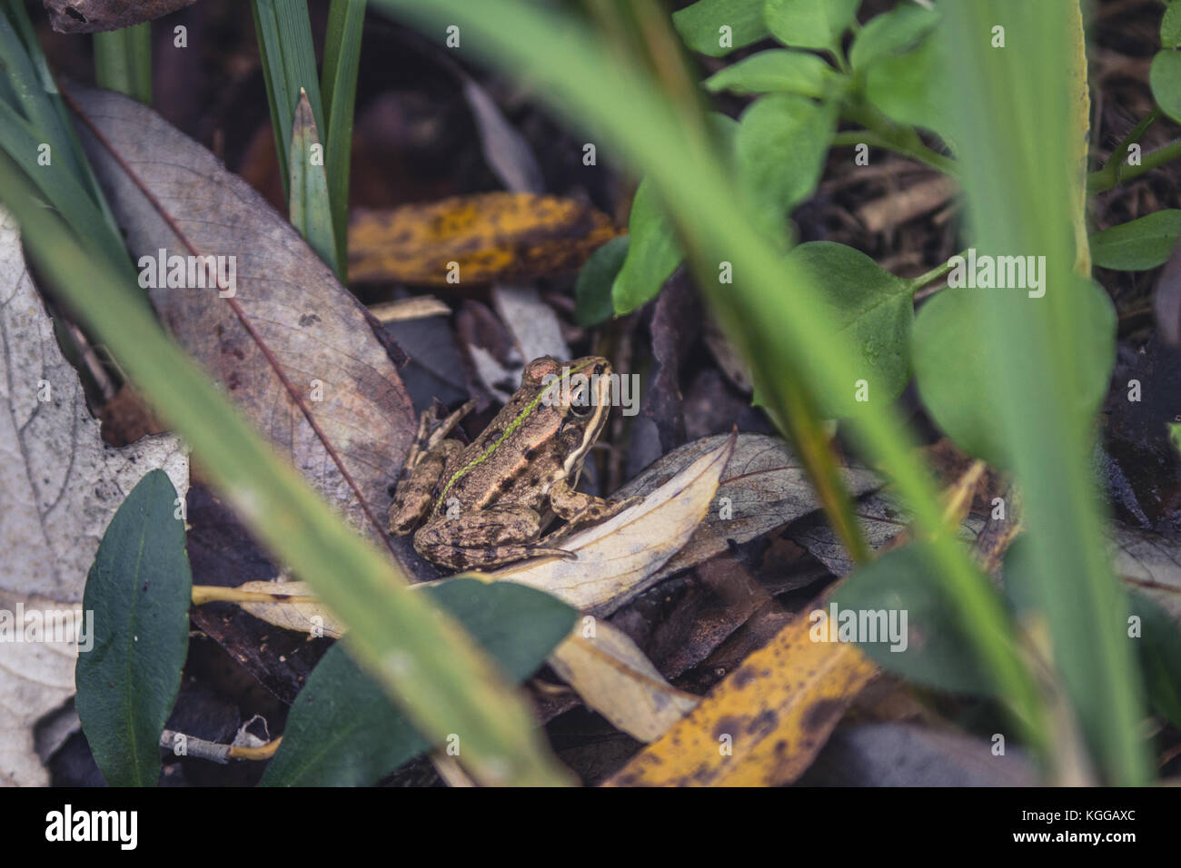 Edible frog (pelophylax kl. esculentus ex rana esculenta), sitting on the ground among dry leaves on autumn day - Stock Image