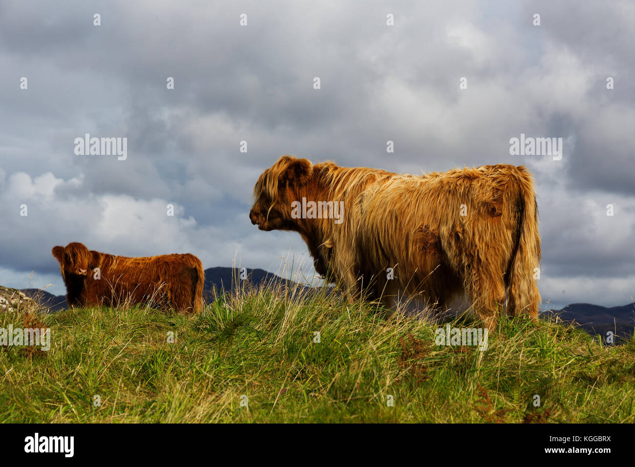 Scottish Highland cattle grazing in a field and pasture on the Isle of Mull, Scotland - Stock Image