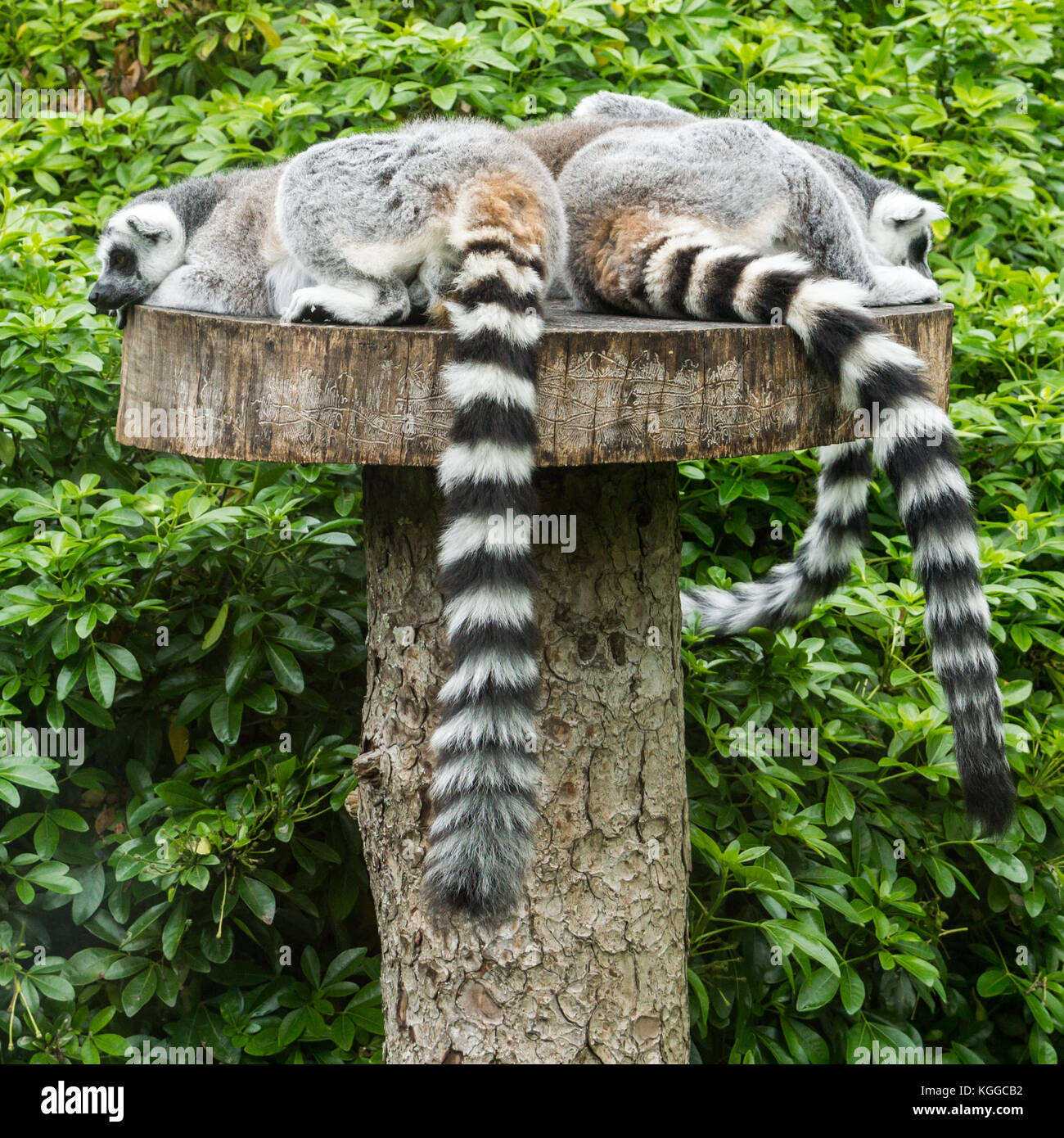 A group of ring tailed lemurs take a nap! - Stock Image