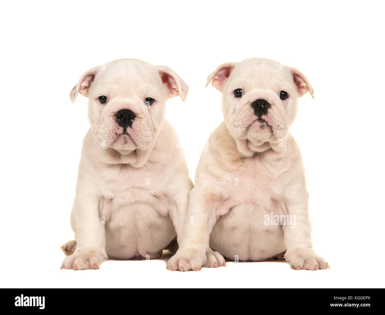 Two Cute White English Bulldog Puppy Dogs Sitting Together And Stock Photo Alamy