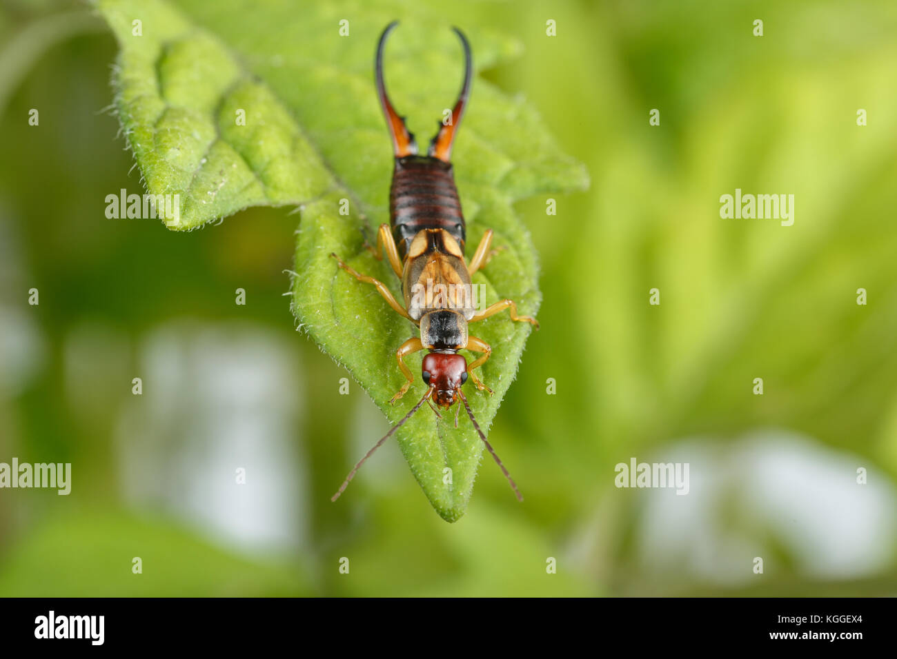 Aphids Tomato Stock Photos & Aphids Tomato Stock Images - Alamy