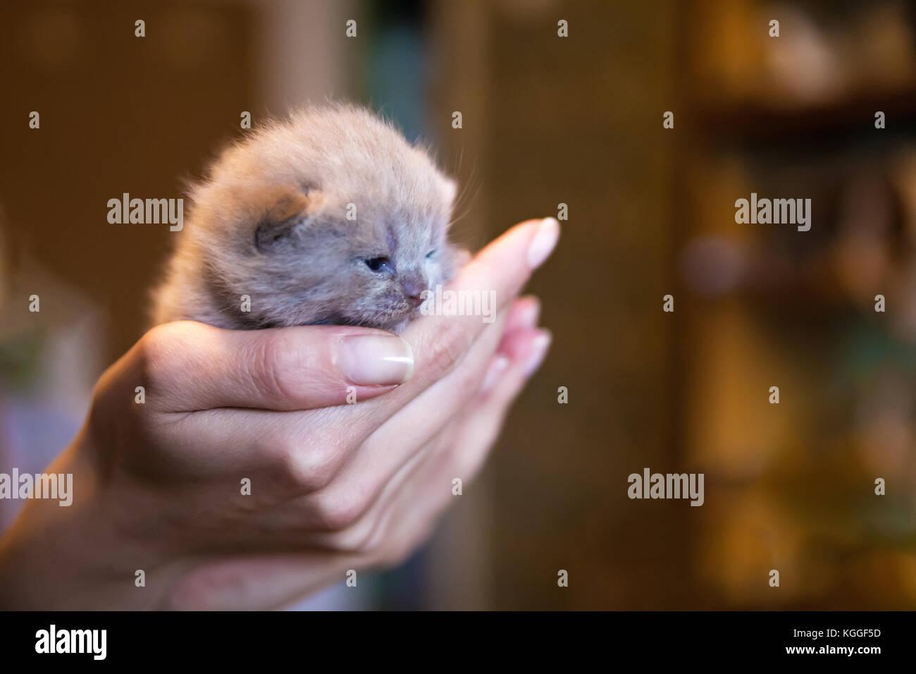Fawn-coloured British kitten in men's hand, little kitten. New born kitten on woman's palm. - Stock Image